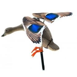 Cane Colvert à ailes battantes