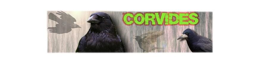 Corvidés